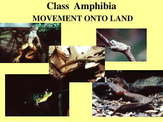 Class  Amphibia  MOVEMENT ONTO LAND