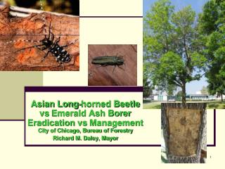 Asian Long-horned Beetle  vs  Emerald Ash Borer Eradication  vs  Management  City of Chicago, Bureau of Forestry Richard