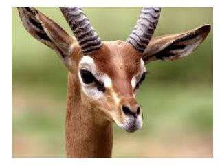 Gazelle – Intermediary link