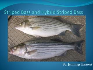 Striped Bass and Hybrid Striped Bass