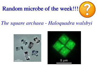 Random microbe of the week!!!