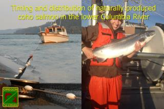 Timing and distribution of naturally produced coho salmon in the lower Columbia  River