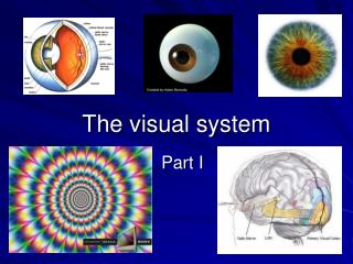 The visual system