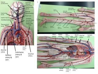 Subclavian artery & vein