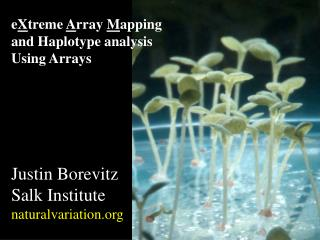 e X treme  A rray  M apping and Haplotype analysis Using Arrays Justin Borevitz Salk Institute naturalvariation.org