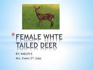 FEMALE WHTE TAILED DEER