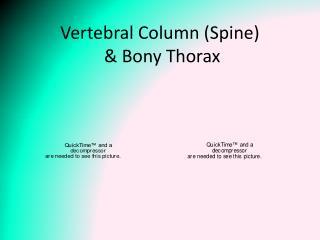 Vertebral Column (Spine)  & Bony Thorax