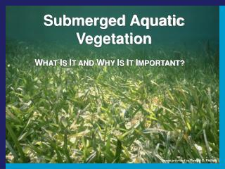 Submerged Aquatic Vegetation