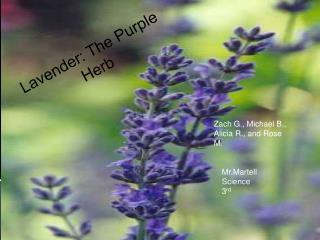Lavender: The Purple  Herb