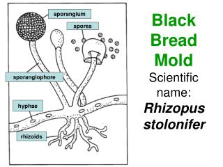 Black Bread Mold Scientific name: Rhizopus stolonifer