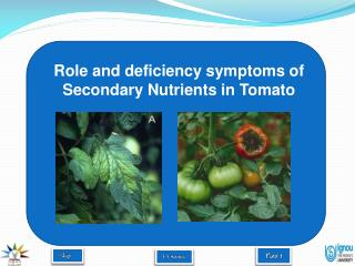 Role and deficiency symptoms of Secondary Nutrients in Tomato