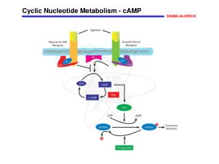 Cyclic Nucleotide Metabolism - cAMP