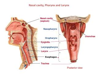 Nasal cavity, Pharynx and Larynx