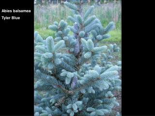 Abies balsamea Tyler Blue