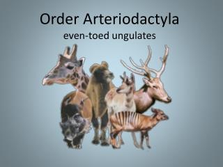 Order Arteriodactyla even-toed ungulates