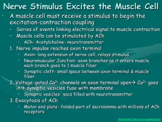Nerve Stimulus Excites the Muscle Cell