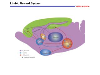 Limbic Reward System