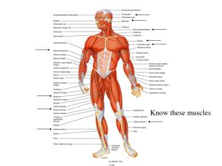 Know these muscles