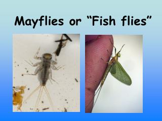 "Mayflies or ""Fish flies"""
