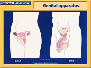 Genital apparatus