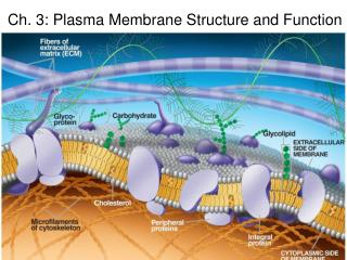 Ch. 3: Plasma Membrane Structure and Function