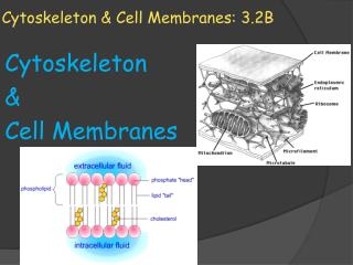 Cytoskeleton & Cell Membranes: 3.2B