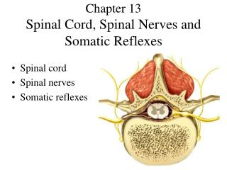 Chapter 13 Spinal Cord, Spinal Nerves and Somatic Reflexes