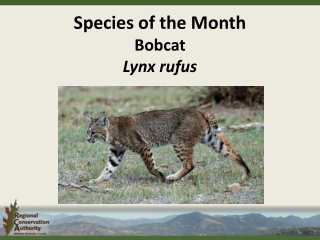 Species of the Month Bobcat Lynx rufus
