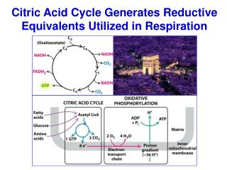 Citric Acid Cycle Generates Reductive Equivalents Utilized in Respiration