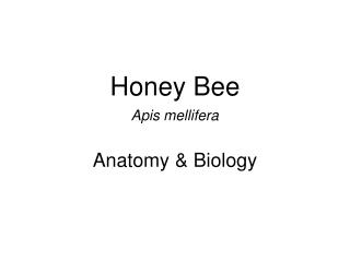 Honey Bee Apis mellifera Anatomy & Biology