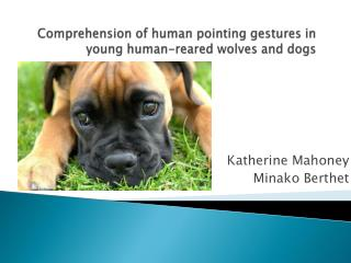 Comprehension of human pointing gestures in young human-reared wolves and dogs
