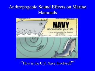"Anthropogenic Sound Effects on Marine Mammals "" How is the U.S. Navy Involved ?"""