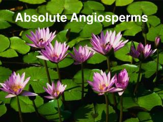 Absolute Angiosperms