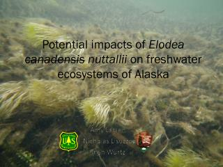Potential impacts of  Elodea  canadensis nuttallii  on freshwater ecosystems of Alaska