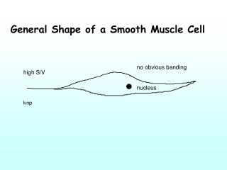 General Shape of a Smooth Muscle Cell
