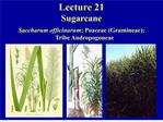 Lecture 21 Sugarcane