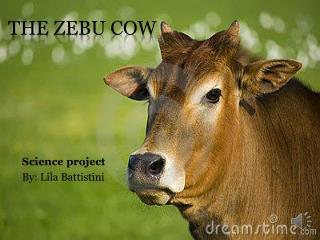 The Zebu Cow