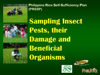 Sampling Insect Pests, their Damage and Beneficial Organisms