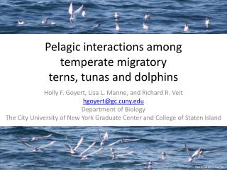Pelagic interactions among temperate migratory  terns , tunas and  dolphins