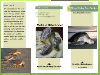 Olive Ridley Sea T urtles