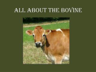 ALL ABOUT the bovine