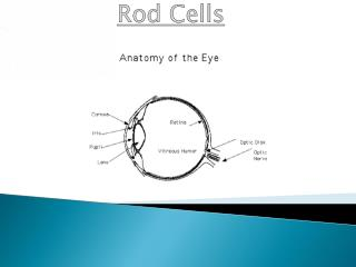 Rod Cells