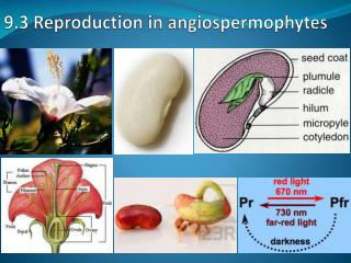 9.3 Reproduction in angiospermophytes