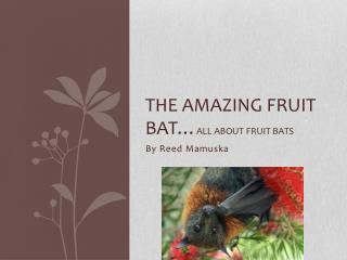 The amazing fruit bat… all about fruit bats
