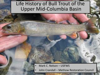 Life  History  of Bull Trout of the  Upper Mid-Columbia Basin