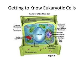 Getting to Know Eukaryotic Cells