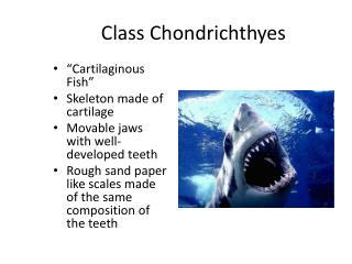 Class Chondrichthyes
