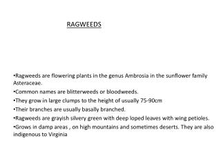 Ragweeds are flowering plants in the genus Ambrosia in the sunflower family Asteraceae.