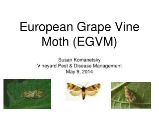 European Grape Vine Moth (EGVM)