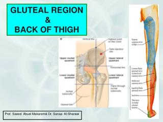 GLUTEAL REGION & BACK OF THIGH